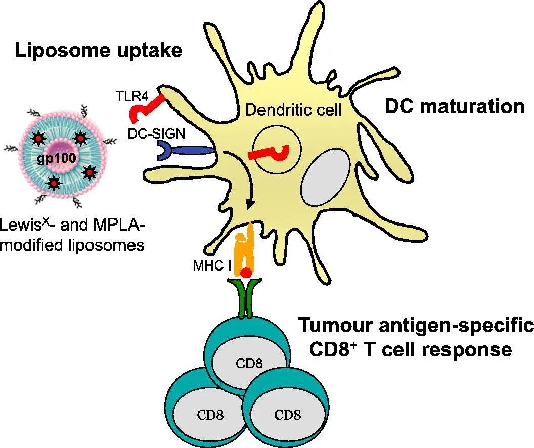 肿瘤疫苗靶向树突状细胞的新策略