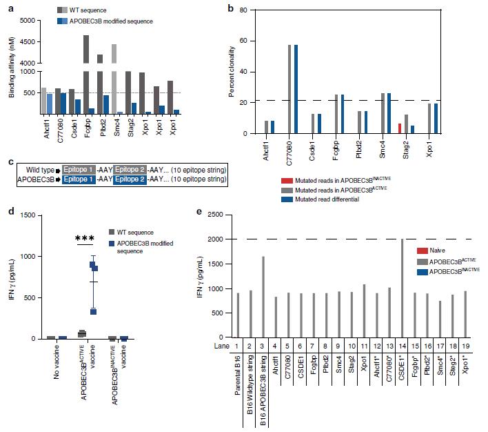 2020文献快递:APOBEC3B修饰—肿瘤疫苗新思路